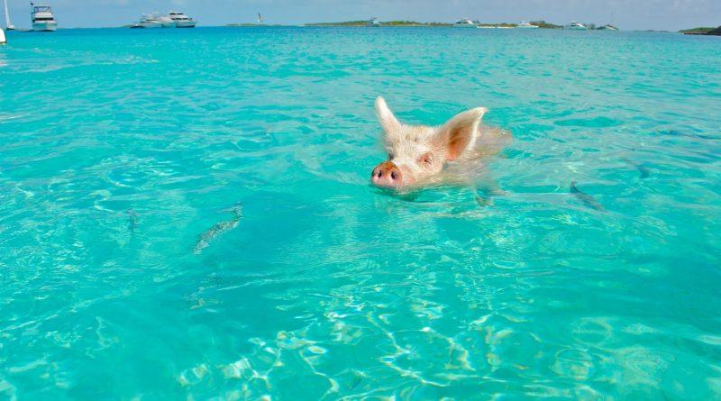 Spiaggia di Piggy Beach nelle isole Exumas alle Bahamas